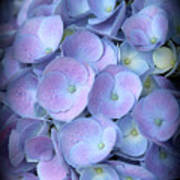 Dreamy Hydrangea In Purple And Blue  Art Print