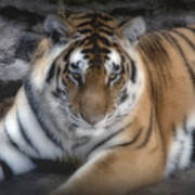 Dreamy Tiger Print by Sandy Keeton