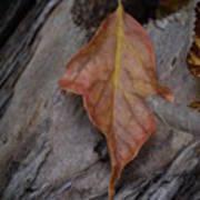 Dried Leaf On Log Art Print