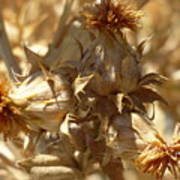 Dried Safflower Art Print