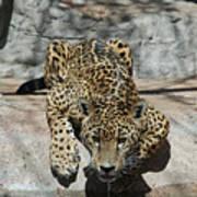 Drinking Jaguar Art Print