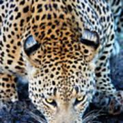 Drinking Leopard Art Print