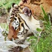 Drinking Tiger Art Print