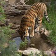 Drinking Tiger Art Print