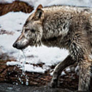 Drinking Wolf Art Print