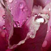 Droplets On Peony 2 Art Print