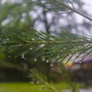 Droplets On Pine Branch Art Print