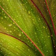 Droplets On Ti Leaves Art Print