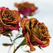 Dry Roses Art Print