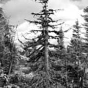 Dry Spruce Art Print