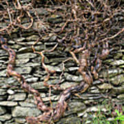 Dry Stone Wall And Vine Art Print