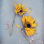 Dry Sunflowers On Blue Art Print