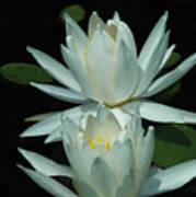 Dual Lilies Art Print