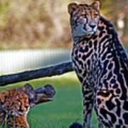 Dubbo Zoo Queen - King Cheetah And Cub Art Print
