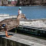 Duck About To Jump. Art Print