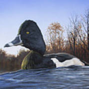 Ring-necked Duck Art Print