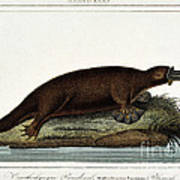 Duck-billed Platypus Ornithorhynchus Art Print