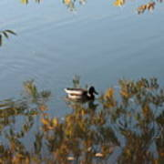 Duck On Golden Pond Art Print