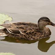 Duck Reflecting Art Print
