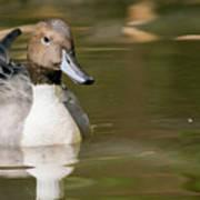 Duck Swimming, Front Portrait. Art Print