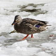 Duck Walking On Thin Ice Art Print