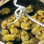 Ducklings In A Basket Art Print