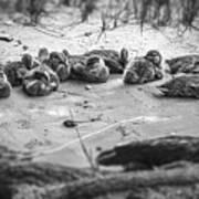 Ducklings Siblings - Grayscale Art Print