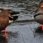 Ducks Hoping For Snacks  Art Print