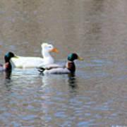 Ducks on Pond Art Print