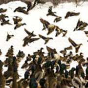 Ducks On The Move Art Print