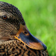 Ducky Up Close And Personal Art Print