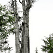 Duncan Memorial Big Cedar Tree - Olympic National Park Wa Art Print