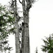 Duncan Memorial Big Cedar Tree - Olympic National Park Wa Print by Christine Till