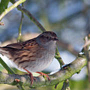 Dunnock On A Snowy Day In Winter Art Print