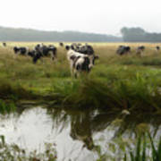 Dutch Cows Art Print