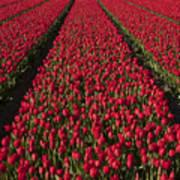Dutch Tulips Second Shoot Of 2015 Part 1 Art Print