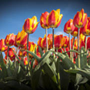 Dutch Tulips Second Shoot Of 2015 Part 2 Art Print