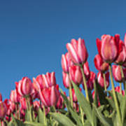 Dutch Tulips Second Shoot Of 2015 Part 8 Art Print