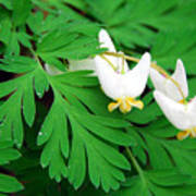 Dutchman's Breeches Art Print