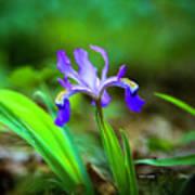 Dwarf Crested Iris Art Print