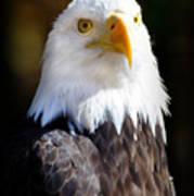Eagle 14 Art Print