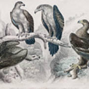 Eagle Birds Print Art Print