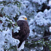 Eagle In A Frosted Tree Art Print