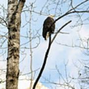 Eagle In A Tall Tree Art Print