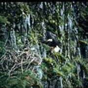 Eagle Landing On Nest Art Print