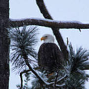 Eagle On A Frosted Limb Art Print