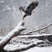 Eagle Takeoff In Snow Art Print