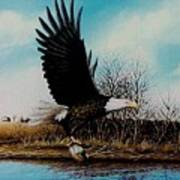 Eagle With Decoy Art Print