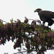 Eaglet In Pines Art Print
