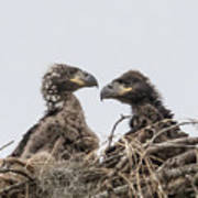 Eaglets Having A Chat Art Print